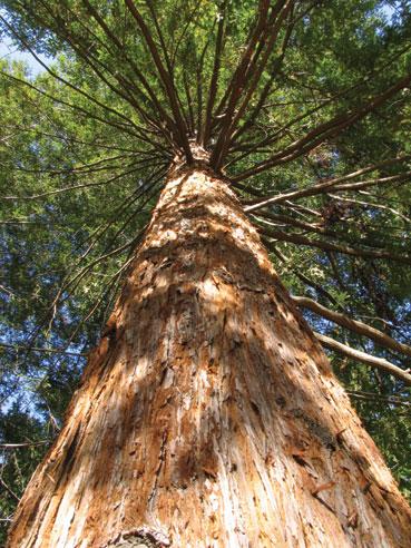 redwood-trunk